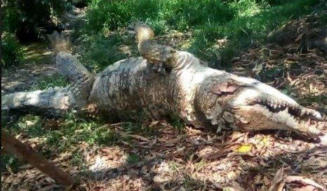 Falleció Hércules, Caimán del Orinoco tercero mas grande en América